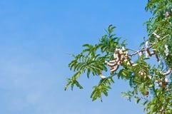 tamarindfrukttree Arkivfoton