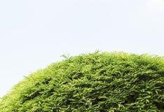 Tamarindfrukttree royaltyfri bild