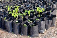 Tamarindfruktunga träd av unga växter i en påsesvart, kolonilantbruk av den selektiva fokusen för tamarindfrukt royaltyfri bild
