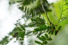 Tamarindo con descensos del agua Fotografía de archivo libre de regalías