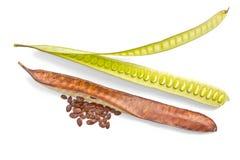 Tamarindo del cavallo, frutta del Leucaena (leucaena leucocephala (fuga.) de Fotografia Stock Libera da Diritti