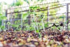 Tamarinds sprout Stock Photos