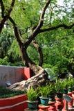 Tamarindus indica Foto de Stock