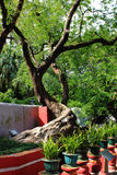 Tamarindus indica Стоковое Фото