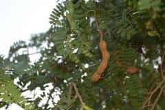 Tamarinier avec l'arbre Photographie stock
