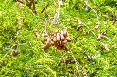 Tamarinier sur l'usine de nature d'arbres Photo libre de droits