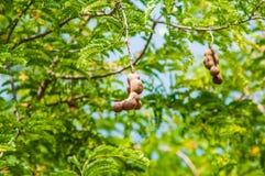 Tamarinier sur l'usine de nature d'arbres Image stock