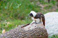 Tamarino edipo primate Royalty Free Stock Images