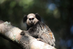 Tamarins Royalty Free Stock Images