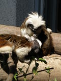 Tamarins Royalty Free Stock Image