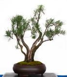 Tamarisk als bonsaiboom Royalty-vrije Stock Afbeelding