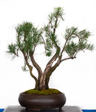 Tamarisk as bonsai tree Royalty Free Stock Image