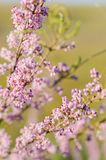 Tamarisk blooms with pink flowers close-up selective focus royalty free stock photos