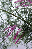 Tamarisk Blossom Royalty Free Stock Image