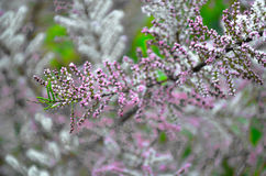 Tamarisk branch close up in spring Royalty Free Stock Photo