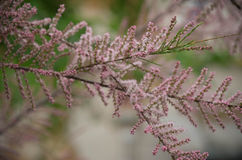 Tamarisk branch close up in spring Stock Images