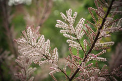 Tamarisk branch close up in spring Royalty Free Stock Image