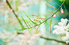 Tamarisk branch close up in spring Royalty Free Stock Images