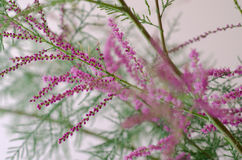Tamarisk Branch Royalty Free Stock Photography