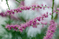 Tamarisk Bush Stock Image