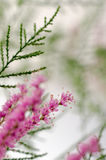 Tamarisk Royalty Free Stock Photo