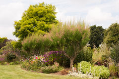 Tamarisk in flower border Stock Images