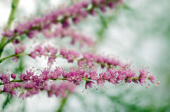 Tamarisk Flower Stock Photos