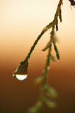 Tamarisk leaf with dew drop Royalty Free Stock Photo