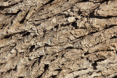 Tamarisk tree bark (Tamarix articulata). Tamarisk tree bark (Tamarix articulata), closeup Stock Photo