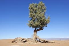 Tamarisk tree (Tamarix articulata) in the Sahara desert. Royalty Free Stock Photo