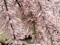 Tamariskträd i blomning Fotografering för Bildbyråer