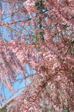 Tamarix. Beautiful blooms pink flowers Royalty Free Stock Photos
