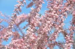 Tamarix blossoms. Tamarix beautiful blooms pink flowers Stock Photos