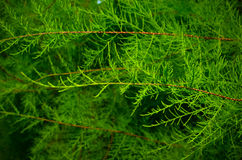 Tamarix branches on a green background. Without blossom Stock Images