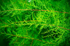 Tamarix branches on a green background. Without blossom Royalty Free Stock Image
