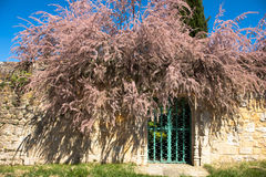 Tamarix and a gate. Royalty Free Stock Photo