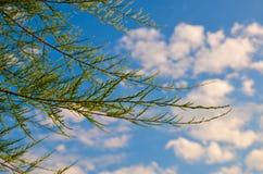Tamarix meyeri Boiss bush against blue sky. Royalty Free Stock Photography