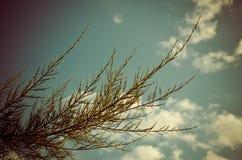 Tamarix meyeri Boiss bush against blue sky. Royalty Free Stock Photo