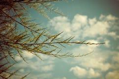 Tamarix meyeri Boiss bush against blue sky. Stock Photo