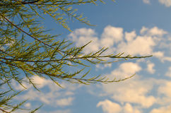 Tamarix meyeri Boiss bush against blue sky. Stock Images
