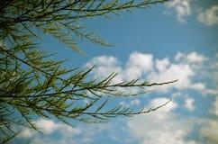 Tamarix meyeri Boiss bush against blue sky. Royalty Free Stock Image