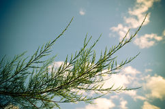 Tamarix meyeri Boiss bush against blue sky. Stock Image
