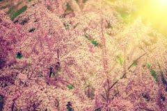 Tamarix meyeri Boiss bush. In the garden Stock Images