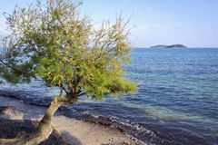 Tamarix stands right on the shore of Adriatic in Orebic. Tamarix. A tamarisk stands right on the shore of the Adriatic in Orebic, Croatia. The tamarisk is a Stock Photo