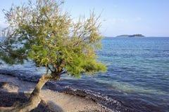 Tamarix steht auf dem Ufer von Adria in Orebic recht stockfoto