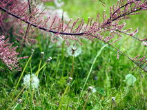 Tamarix - Tamarisk. Tamarix pink and purple buds., with green grass and dandelions in the background Stock Photo