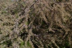 Tamarix tetrandra means four-stamen tamarisk. Tamarix with tiny pale pink flowers inflorescence Stock Images