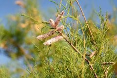 Tamarix tree branch with pink flowers. On blue sky backgrounds Royalty Free Stock Photo