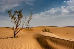Tamarix tree in Iranian. Tamarix tree in Iranian desert Royalty Free Stock Image