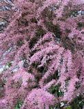 Tamarix tree. Pink tamarix tree blooming in spring Royalty Free Stock Photo